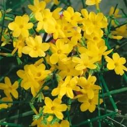 Jasminum nudiflorum (Téli jázmin)