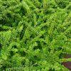 Lonicera nitida'Maigrün' (Terülő mirtuszlonc)