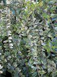 Lonicera nitida 'Lemon Beauty'(Tarkalevelű mirtszlonc)