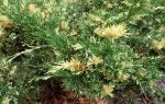 Juniperus sabina variegata (Tarka nehézszagú boróka)
