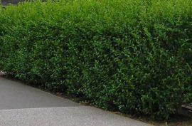 Ligustrum ovalifolium (Télizöld fagyal)