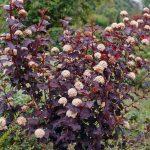 Physocarpus opulifolius'Diabolo' (Vöröslevelű hólyagvessző)
