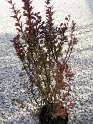 Berberis thunbergii 'Helmond Pillar' (Vöröslevelű oszlopos borbolya)