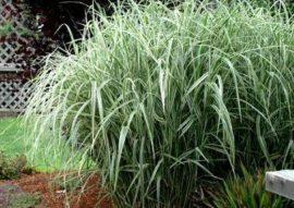 Miscanthus sinensis 'Silver Arrow'(Zöld-fehér lombú molnárpántlika)